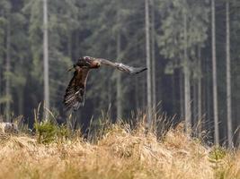 bela águia dourada [aquila chrysaetos] em plena luta. foto