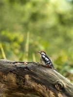 pica-pau-malhado juvenil (dendrocopos major) foto