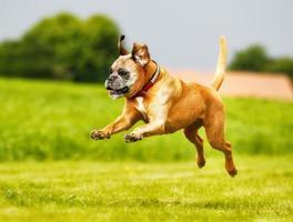 um cão boxer de raça pura pulando no ar foto