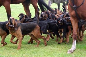 caça de bloodhound foto