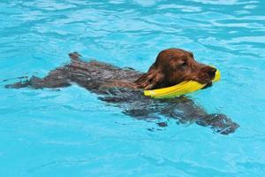 cocker natação foto
