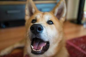 shiba inu olhando feliz foto