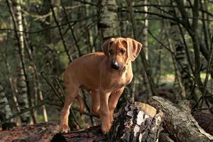 filhote de cachorro rhodesian ridgeback foto