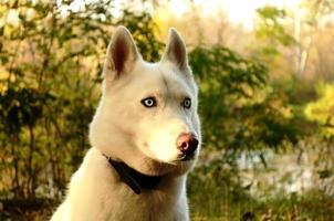 husky branco foto