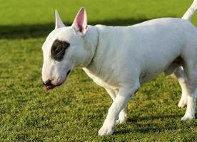 bull terrier foto