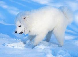 filhote de cachorro samoiedo