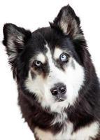 close de um lindo cão malamute do Alasca foto