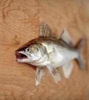 walleye com boca aberta