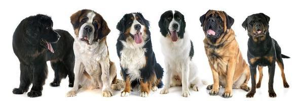 cães gigantes foto