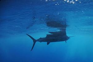 peixe-vela nadando no oceano foto