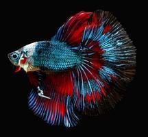 peixe-lutador-siamês isolados no fundo preto. foto