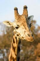 cabeça de girafa foto