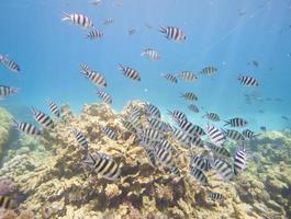 cardume de sargento major libelinha no recife de coral