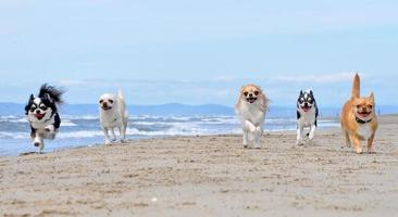 chihuahuas na praia foto
