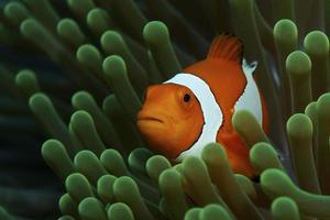 peixe-palhaço falso anêmona