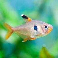 peixes de aquário. tetra rosado. (foco suave).