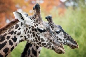 par de girafas foto