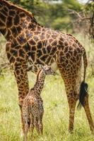 girafa bebê foto