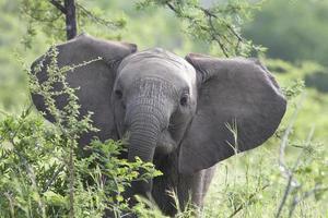 bebê elefante africano