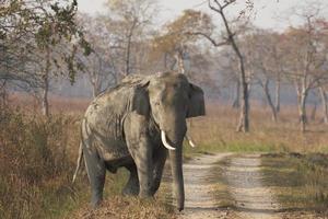 elefante asiático de touro enorme foto