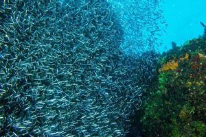 grande escola de arenque prateado nadando perto de corais foto