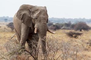 grandes elefantes africanos no parque nacional de etosha
