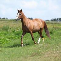 belo cavalo castanho correndo no Prado foto