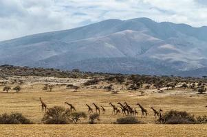 manada de girafas foto