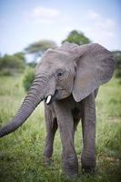 elefante no tarangire foto