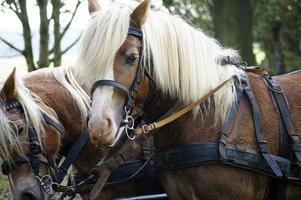 treinador com cavalos haflinger foto