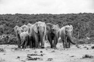 elefantes, áfrica do sul foto