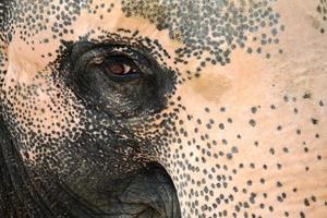 olho de elefante foto