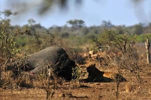 Leoa no Parque Nacional Kruger, África do Sul