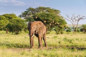 touro elefante no parque tarangire, tanzânia