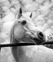 lindo cavalo árabe branco olhando direito foto