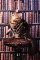 gato malhado de maine coon foto