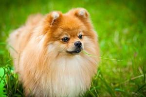 cão spitz sobre a natureza do verão foto