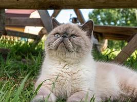 gato shorthair exótico na natureza.