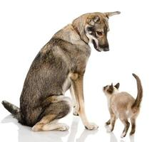 cão e gatinho siamês foto