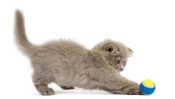vista lateral de um gatinho das terras altas dobra jogando com bola foto