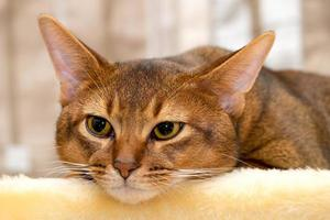 gato abissínio de raça pura foto