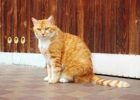 lindo gato ruivo foto