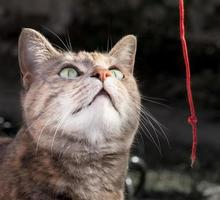 gato malhado de tartaruga brincando com barbante vermelho