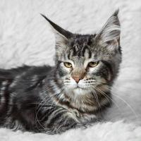 gato malhado preto maine coone posando em peles de fundo branco foto