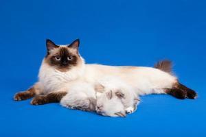 siberian floresta mãe gato com gatinhos foto
