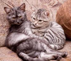 lindos gatos jovens escoceses foto