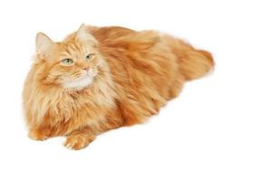 fofo gato vermelho isolado no fundo branco foto