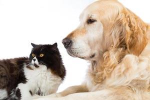gato persa com cachorro retriever dourado foto