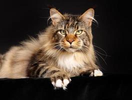 gato de raça pura foto