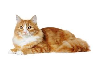 mármore vermelho-misturado raça gato deitado isolado no branco foto